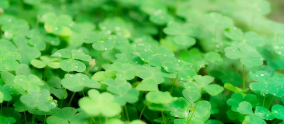four leaf clover gene