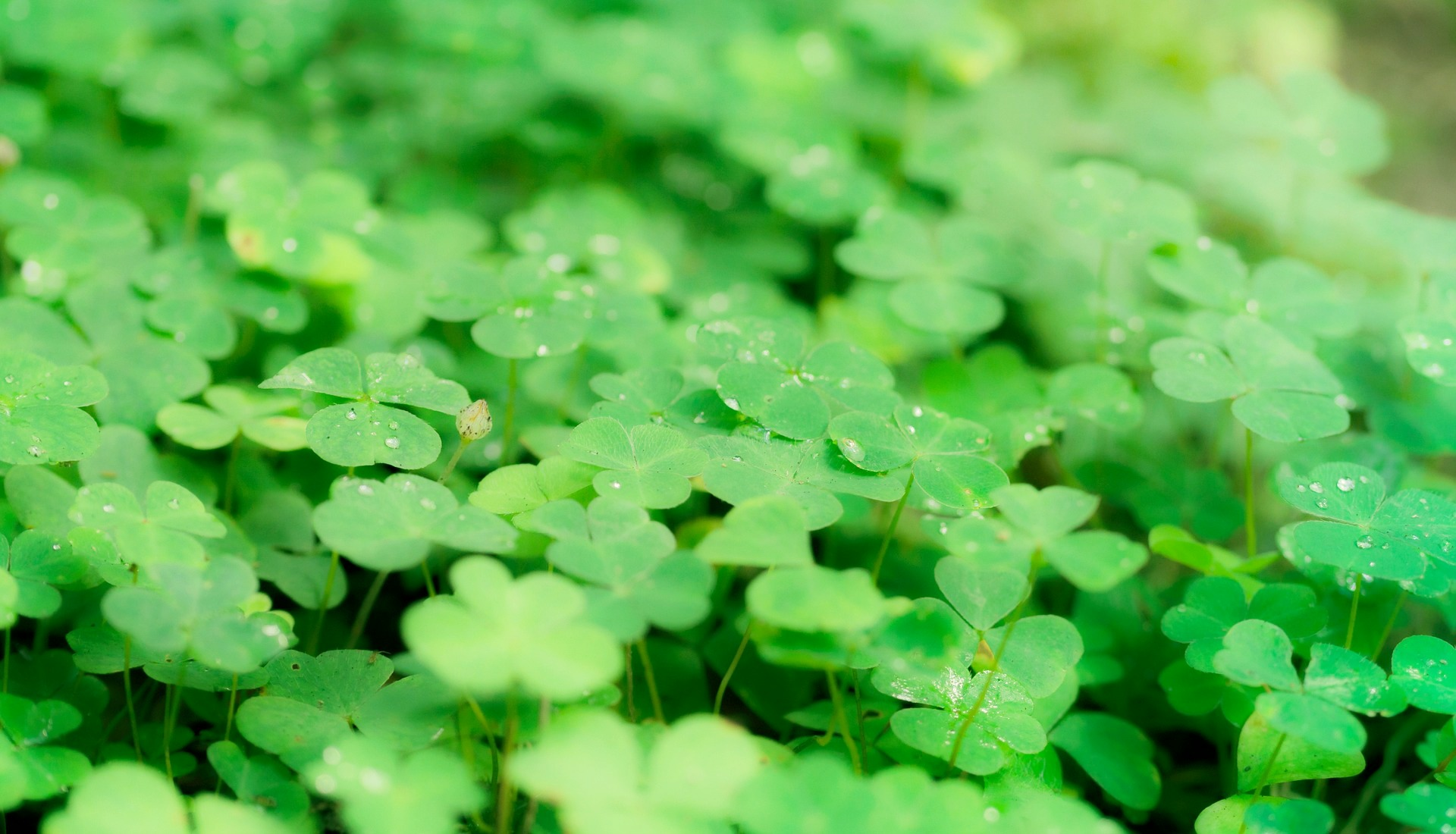 Luck Or Dna Genetics Of The Four Leaf Clover And The Search For
