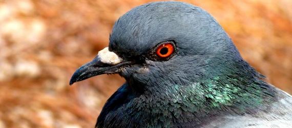 Pigeon doctor