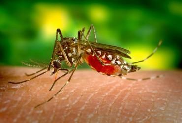 Aeges mosquito