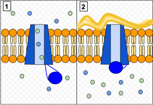 The CFTR protein is a channel protein that controls the flow of H2O and Cl- ions in and out of cells inside the lungs. When the CFTR protein is working correctly, as shown in Panel 1, ions freely flow in and out of the cells. However, when the CFTR protein is malfunctioning as in Panel 2, these ions cannot flow out of the cell due to a blocked channel. This causes Cystic Fibrosis, characterized by the buildup of thick mucus in the lungs.