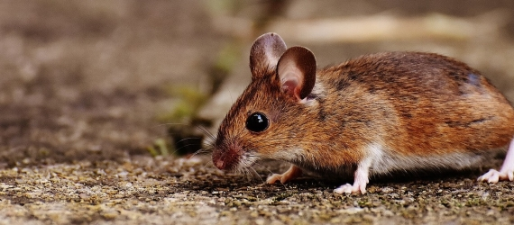 Genetically reprogrammed cells that prolong the life of mice