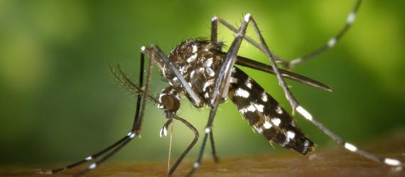 Gene-Edited Mosquito