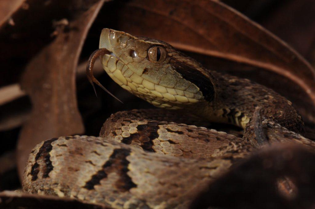 Bothrops jaraca snake