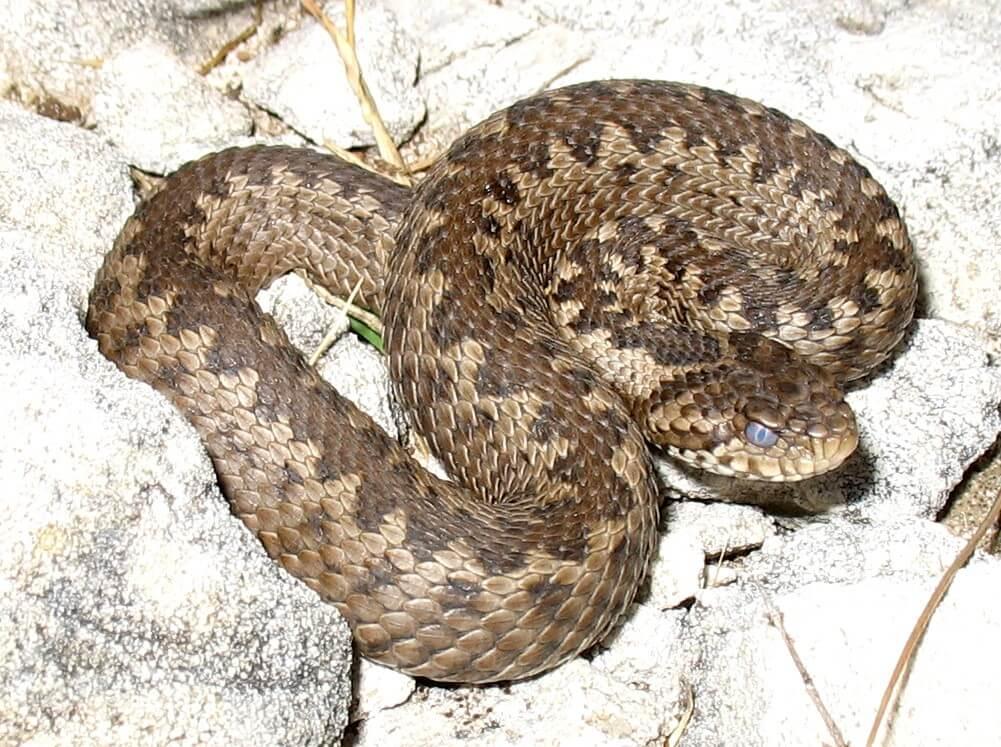 Vipera ursinii snake