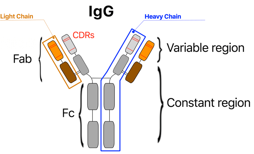 Schematic of an IgG antibody