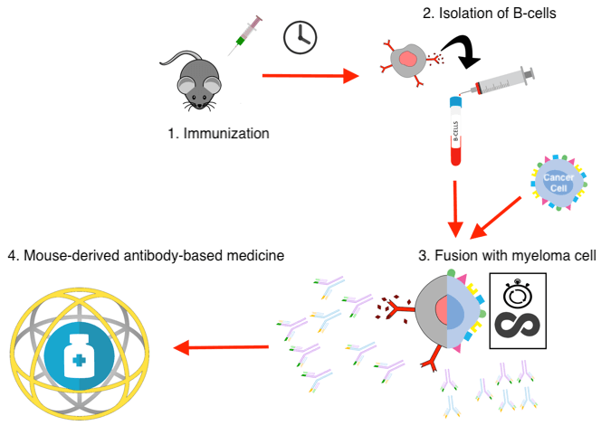 Schematic showing the immunization process