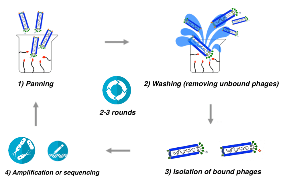 Schematic of phage display process
