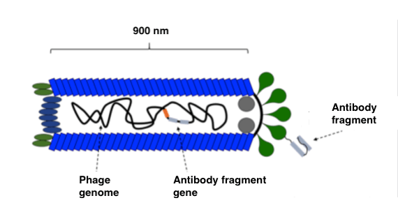 Schematic of a bacteriphage