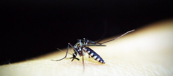 mosquito malaria