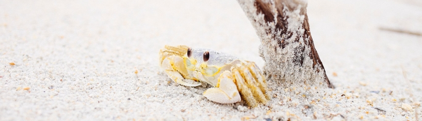Crab on beach under a twig