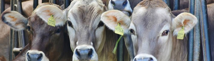 cows_farm
